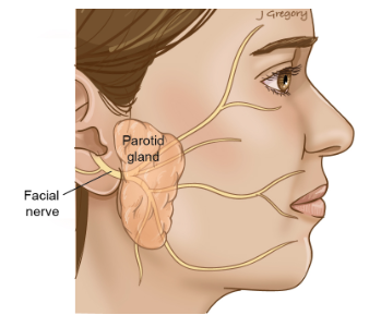 Parotid gland and Facial nerve
